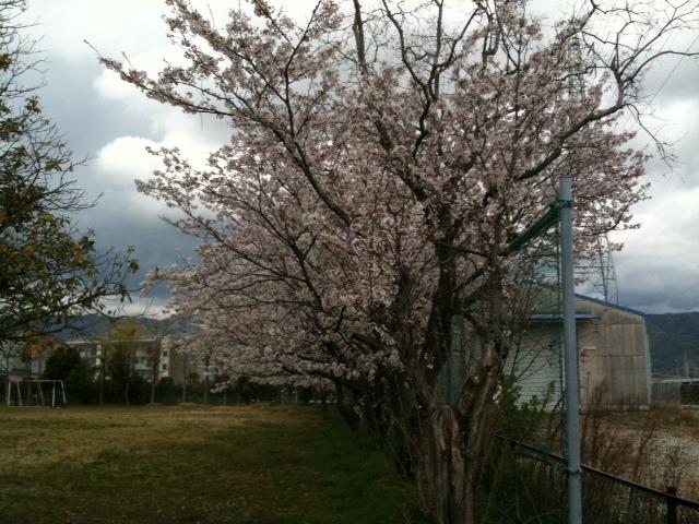 卸団地も桜